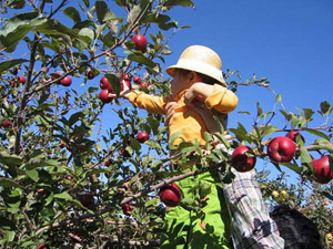 Apple Picking … and the Law of Diminishing Returns