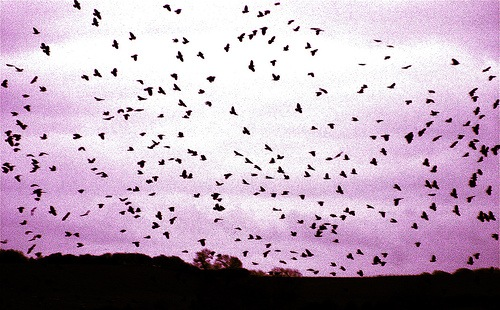 cacophony of crows